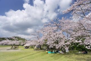 Maruoka Park cherry tree