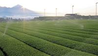 茶叶种植园